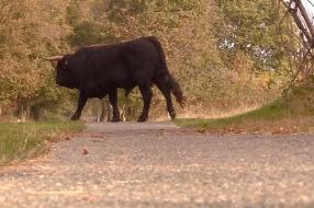Houd voldoende afstand van stieren in de natuur: 'Soms moet je een andere route kiezen'