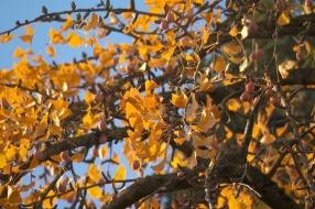 Poeplucht van de Ginkgo biloba zorgt voor stankklachten, maar vervangen is duur