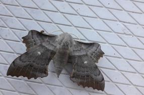 Stuifmail zondag 28 juni: hortensiabladeren, een onbekend insect en indrukwekkende roofvliegen